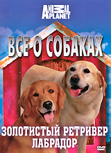 Все о собаках: Золотистый ретривер, лабрадор