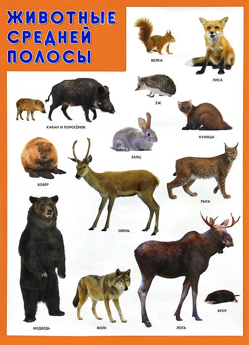 Животные средней полосы. Плакат обучающие плакаты мозаика синтез обучающий плакат животные средней полосы