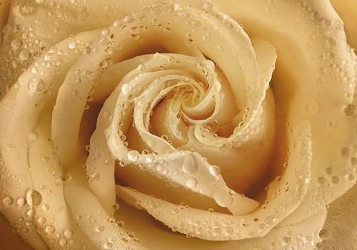"""Фотообои Твоя Планета """"Premium. Утренняя роза"""", 4 листа, 194 х 136 см"""