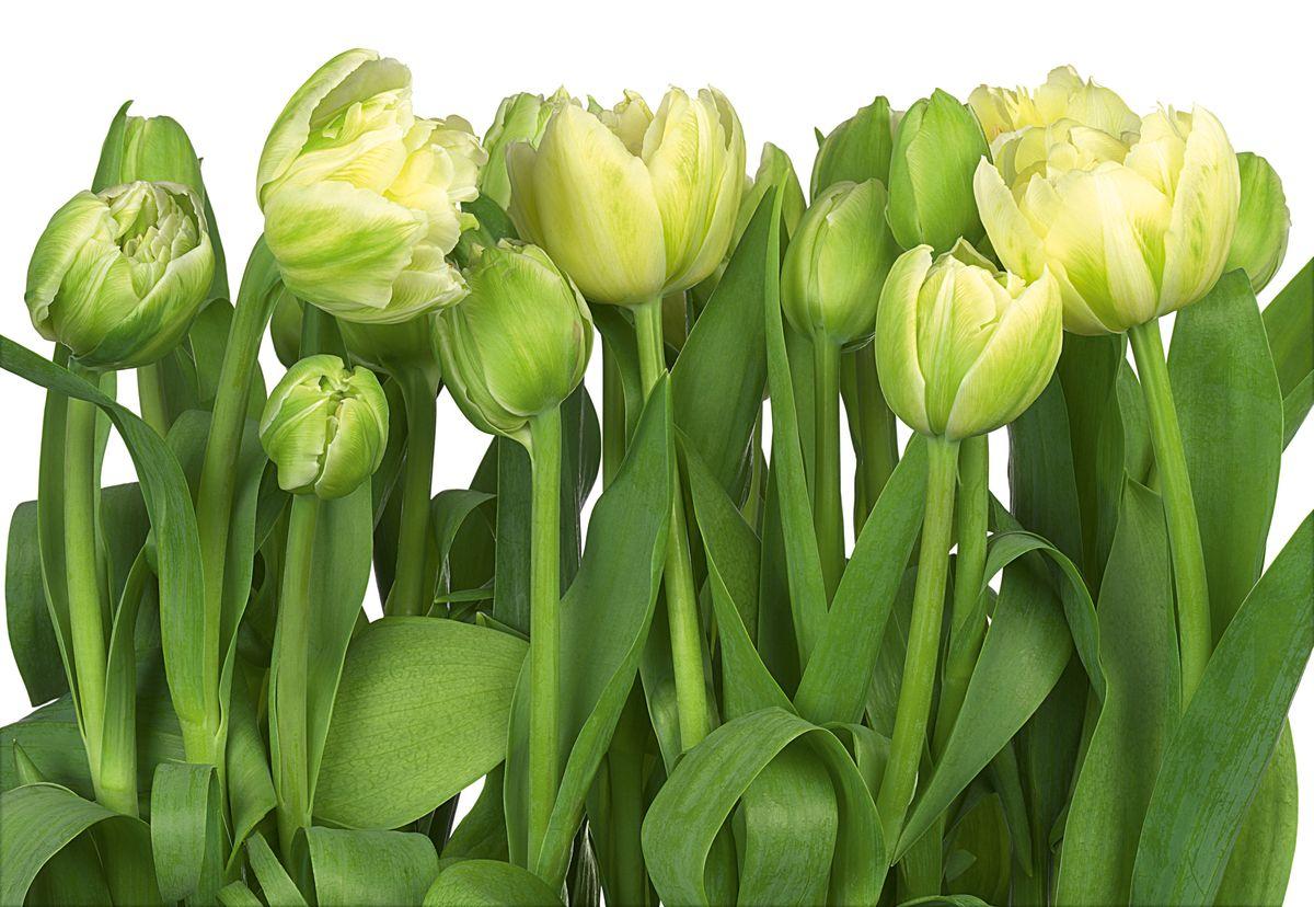 """Фотообои Komar """"Тюльпаны"""", 3,68 х 2,54 м"""