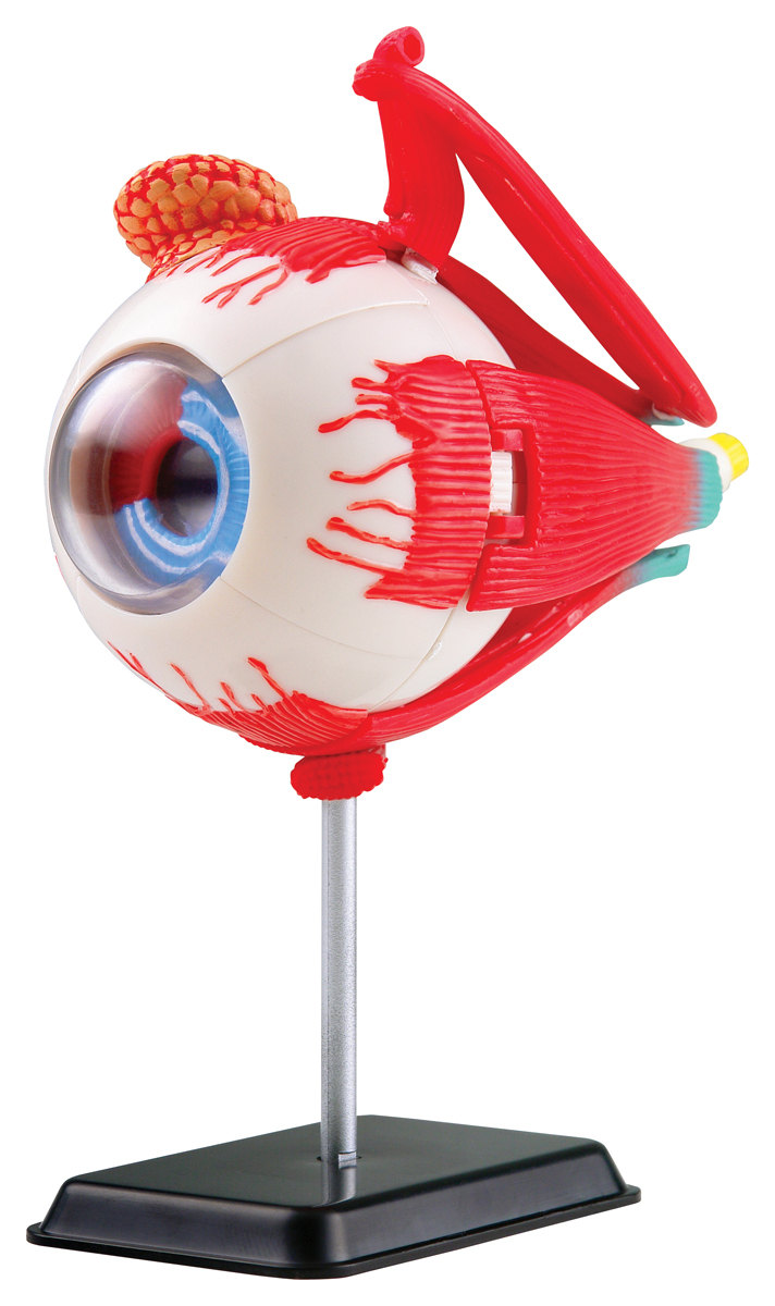 Edu-Toys Анатомический набор Глаз edu toys анатомический набор ухо edu toys