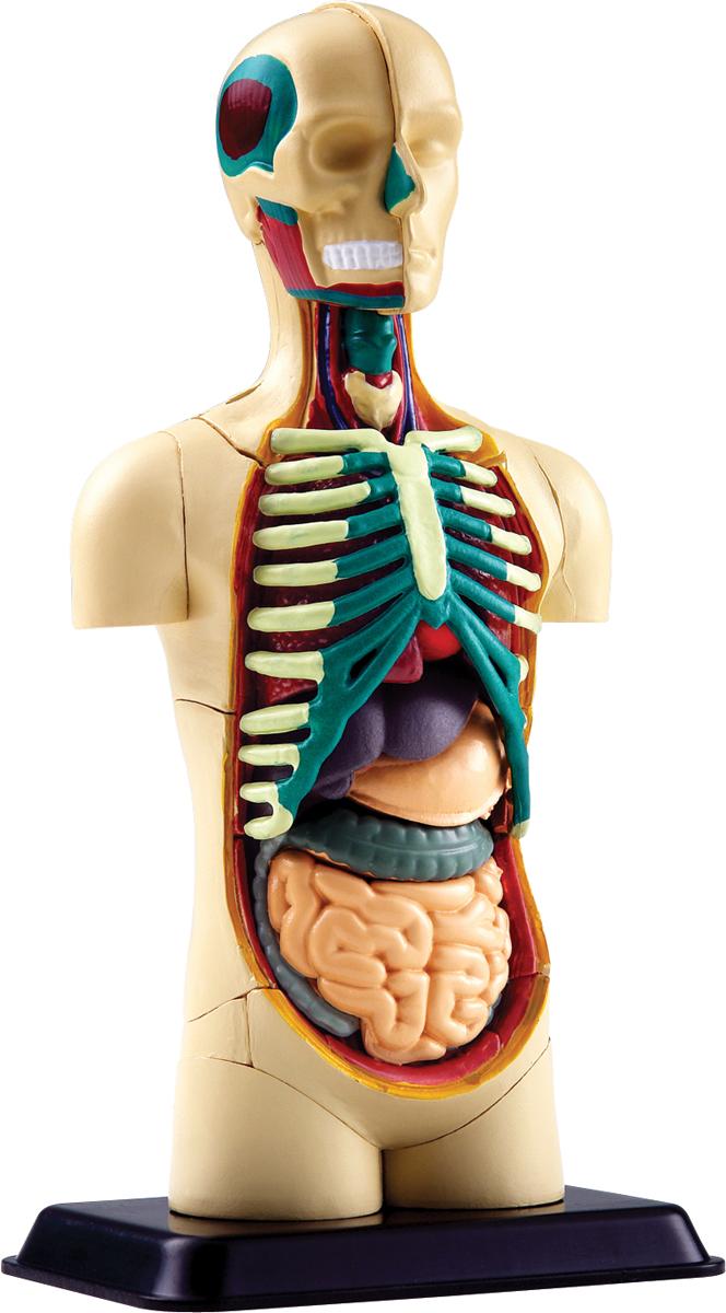 Edu-Toys Анатомический набор Тело цена