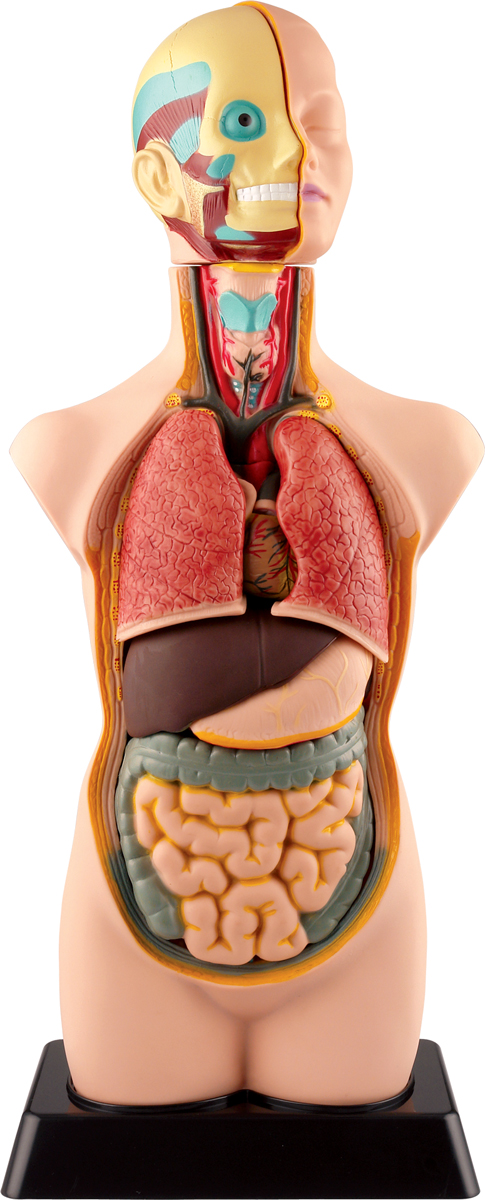Edu-Toys Анатомический набор Торс Органы MK050 цена