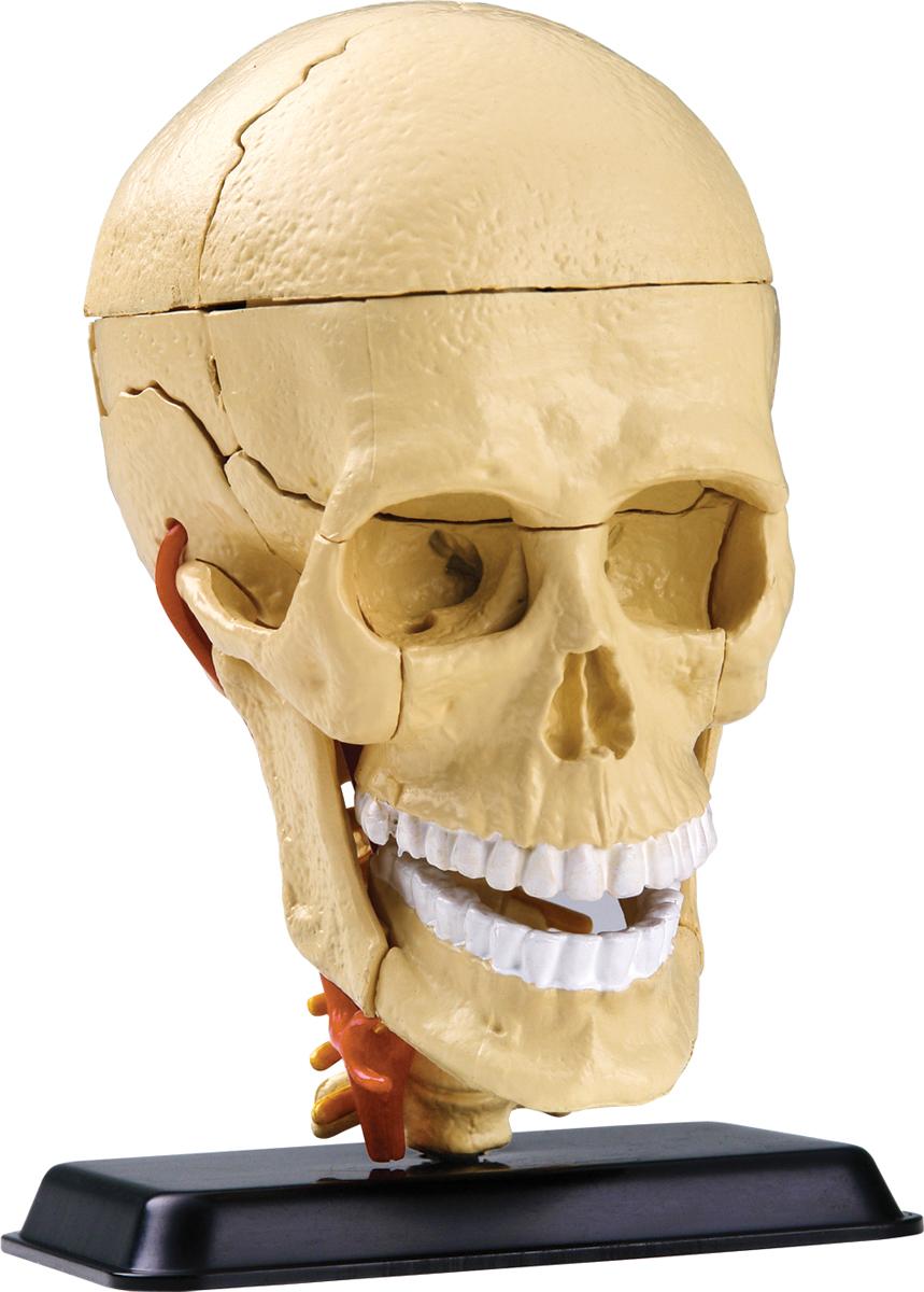 Edu-Toys Анатомический набор Череп edu toys анатомический набор ухо edu toys