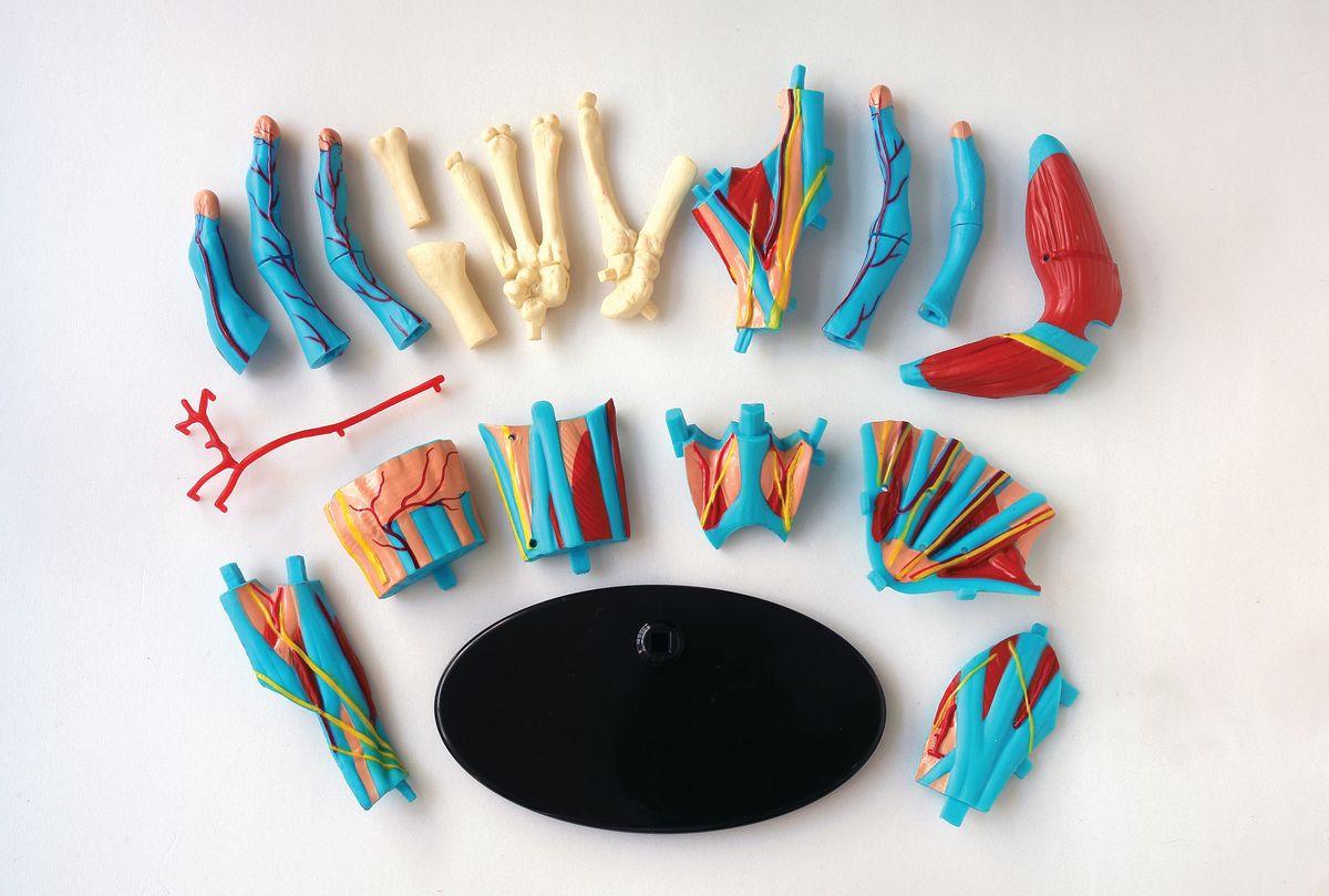 Набор для опытов и экспериментов Edu-Toys Education Анатомический набор: кисть набор для опытов и экспериментов edu toys space science модель солнечной системы ge045 разноцветный