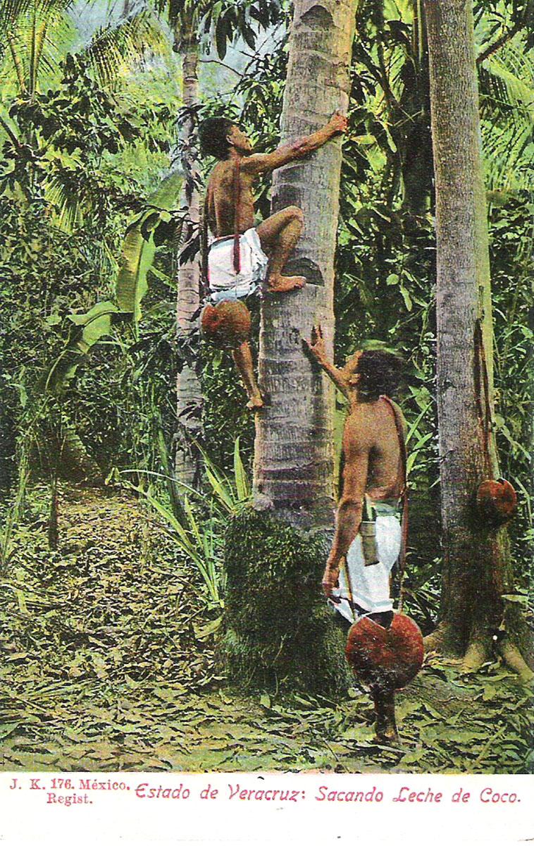 Почтовая открытка Estado de Veracruz: Sacando Leche de Coco. #176. Мексика, начало ХХ века caloncho veracruz