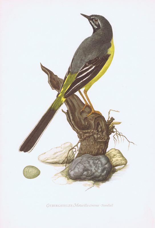 Гравюра Kronen-V Птицы. Горная трясогузка. Офсетная литография. Германия, Гамбург, 1953 год, 20-001-050
