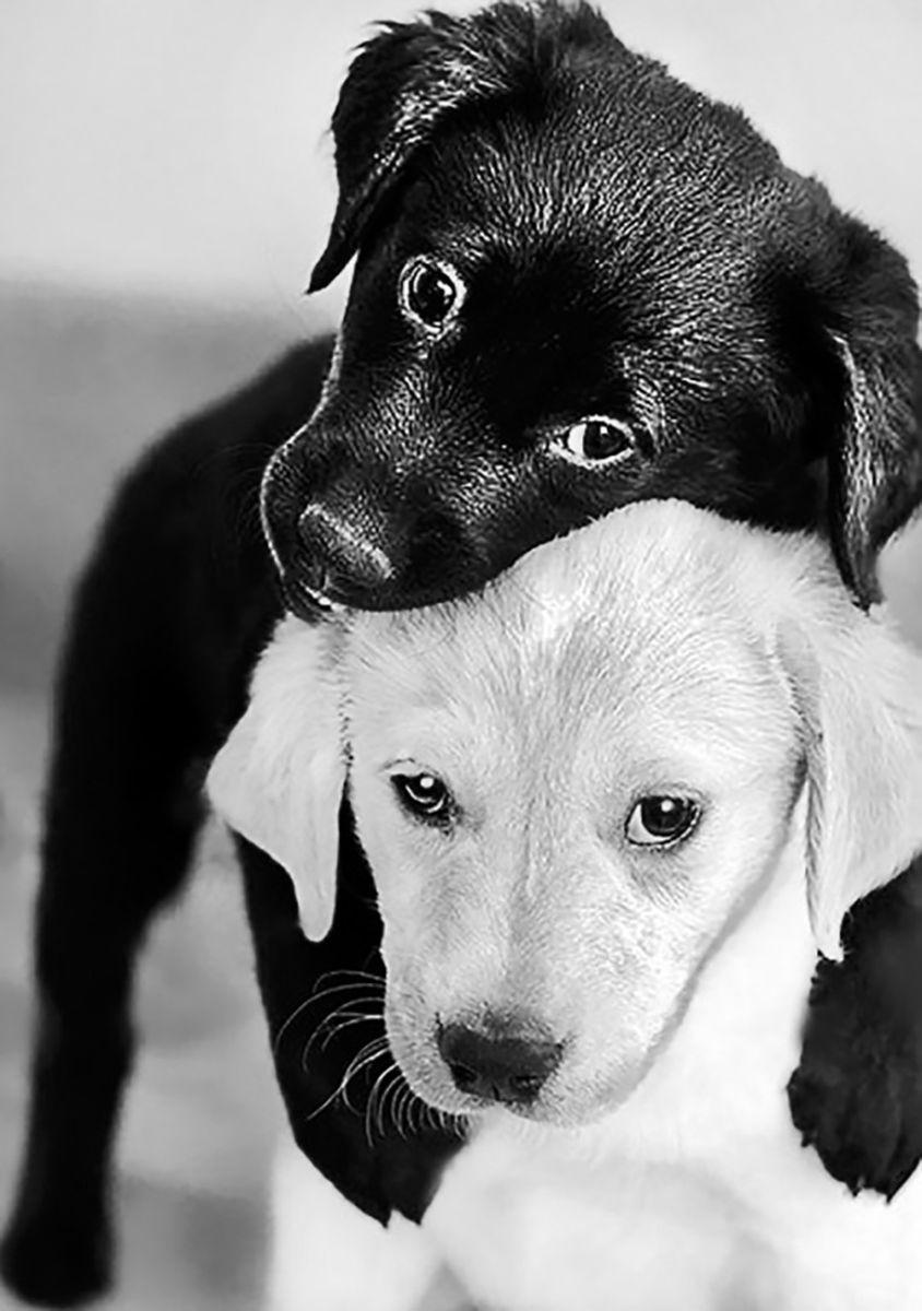 Алмазная мозаика Гранни Черный и белый щенок, 19 х 27 см цена и фото