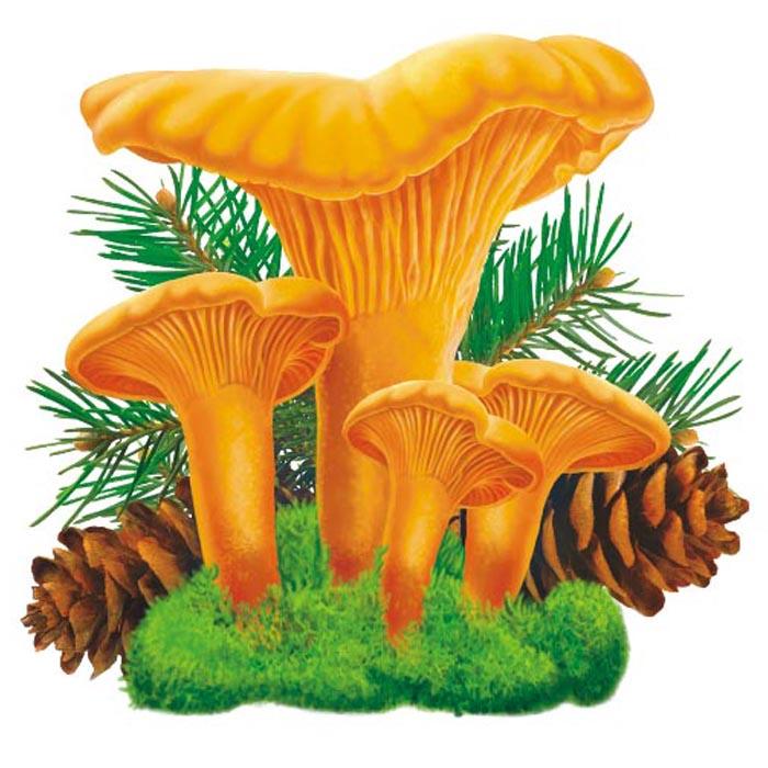Лисички грибы в картинках для детей