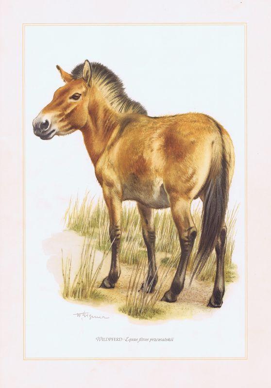 картинка лошадь пржевальского на прозрачном фоне