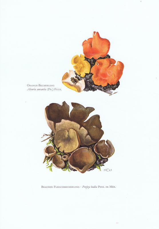 Гравюра Kronen-V Грибы. Пецица коричневая, алеврия оранжевая. Офсетная литография. Германия, Гамбург, 1963 год