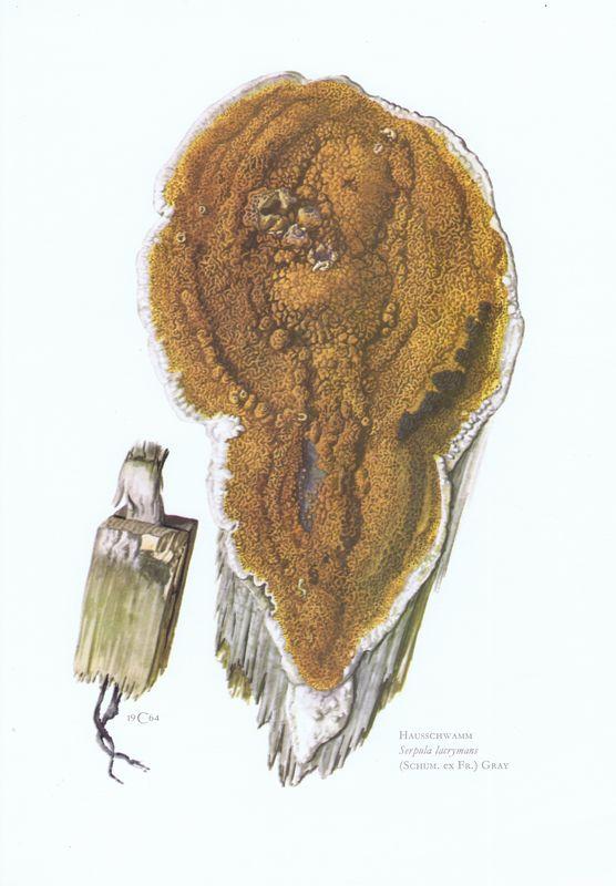 Гравюра Kronen-V Грибы. Домовый гриб. Офсетная литография. Германия, Гамбург, 1963 год
