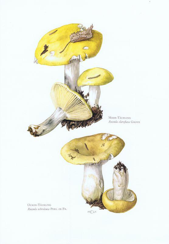 Гравюра Kronen-V Грибы. Сыроежка светло-желтая, сыроежка охристая. Офсетная литография. Германия, Гамбург, 1963 год