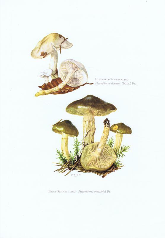 Гравюра Kronen-V Грибы. Гигрофор бурый, гигрофор желтовато-белый. Офсетная литография. Германия, Гамбург, 1963 год jd коллекция желтовато бурый 39