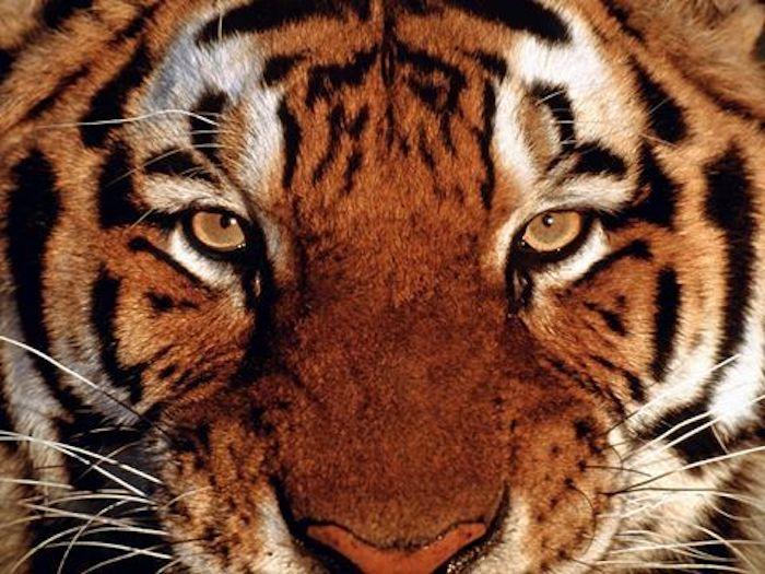Алмазная мозаика Яркие Грани Взгляд тигра (DS531), размер 50х38см, 51 цвет