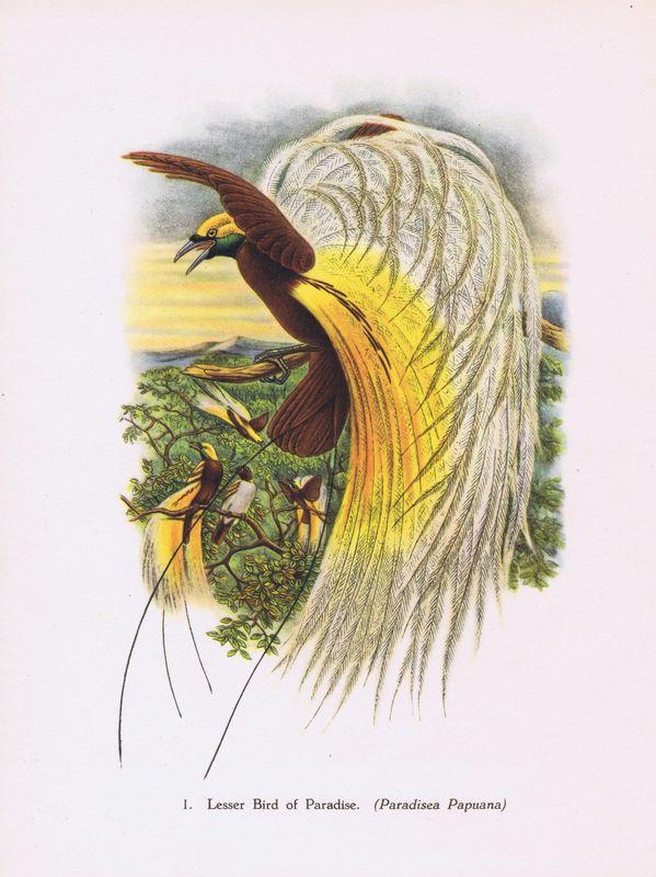 Гравюра Джон Гульд Тропические птицы. Малая райская птица. Офсетная литография. Англия, Лондон, 1948 год тропические птицы колибри офсетная литография англия лондон 1964 год