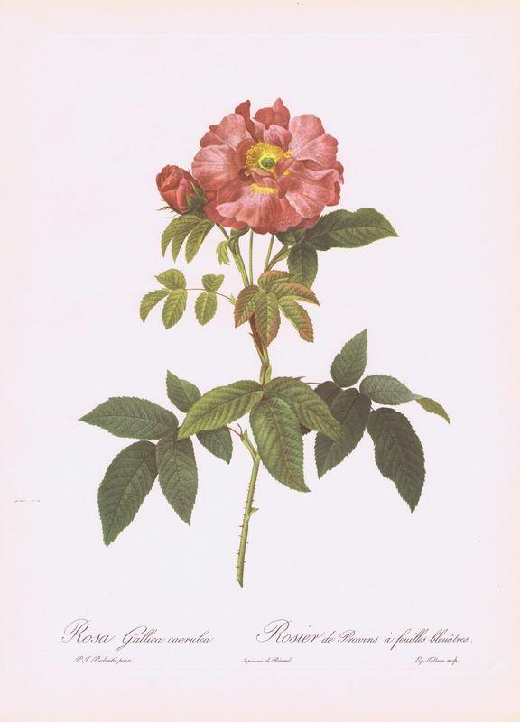 Гравюра Пьер-Жозеф Редуте Галльская темно-зеленолистная роза. Офсетная литография. Англия, Лондон, 1956 год кроссовки camper camper ca555ameduj3