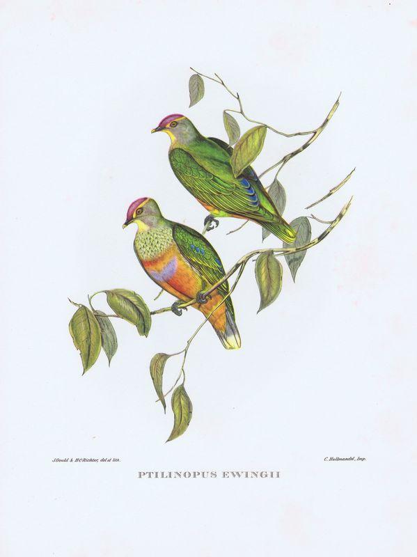 Тропические птицы. Розовошапочный пестрый голубь. Офсетная литография. Англия, Лондон, 1964 год тропические птицы колибри офсетная литография англия лондон 1964 год