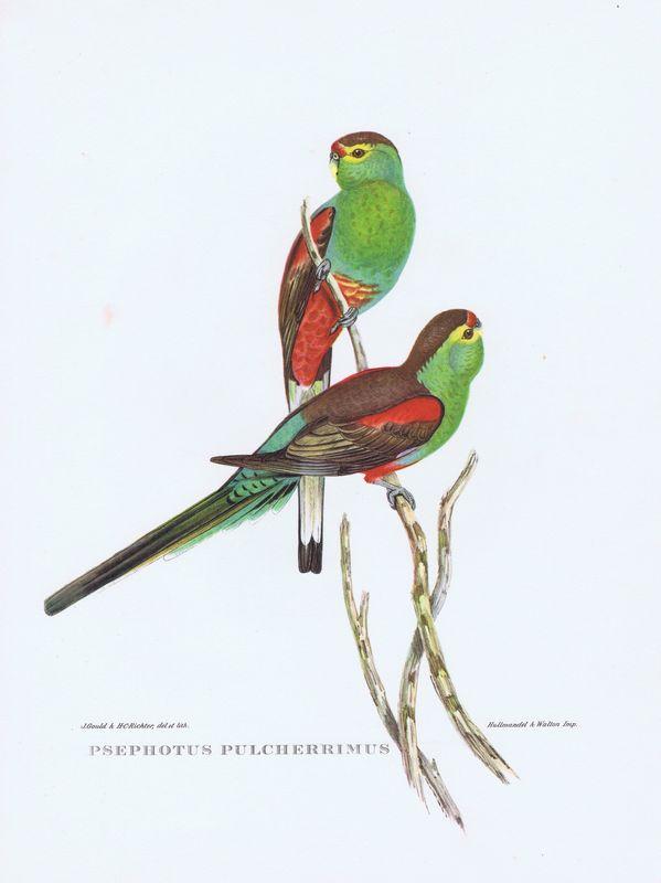 Тропические птицы. Райский плоскохвостый попугай. Офсетная литография. Англия, Лондон, 1964 год тропические птицы колибри офсетная литография англия лондон 1964 год