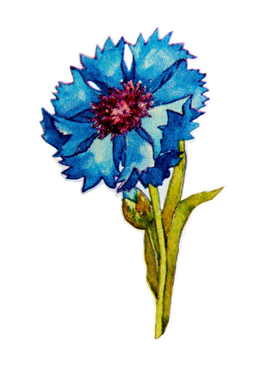 Цветок василек картинка детская