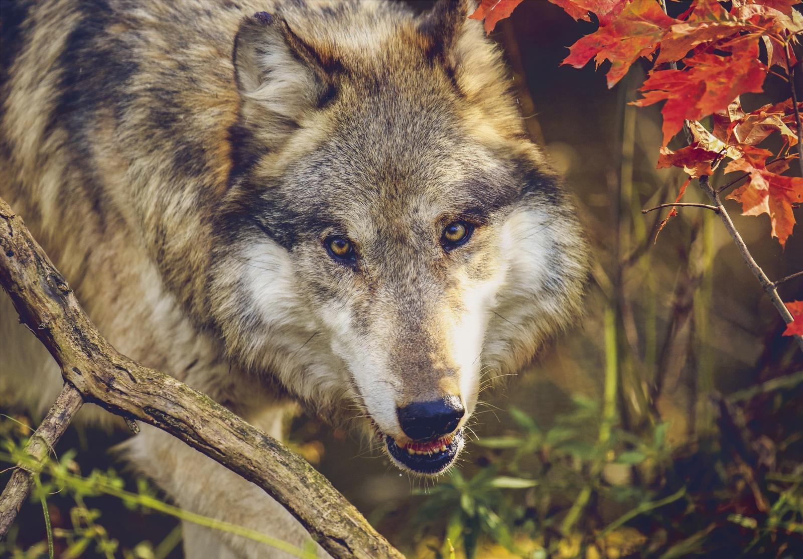 котиком фото волка с вишней крупные махровые
