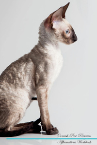 Cornish Rex Affirmations Workbook Cornish Rex Presents. Positive and Loving Affirmations Workbook. Includes: Mentoring Questions, Guidance, Supporting You.