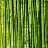 BambooWood
