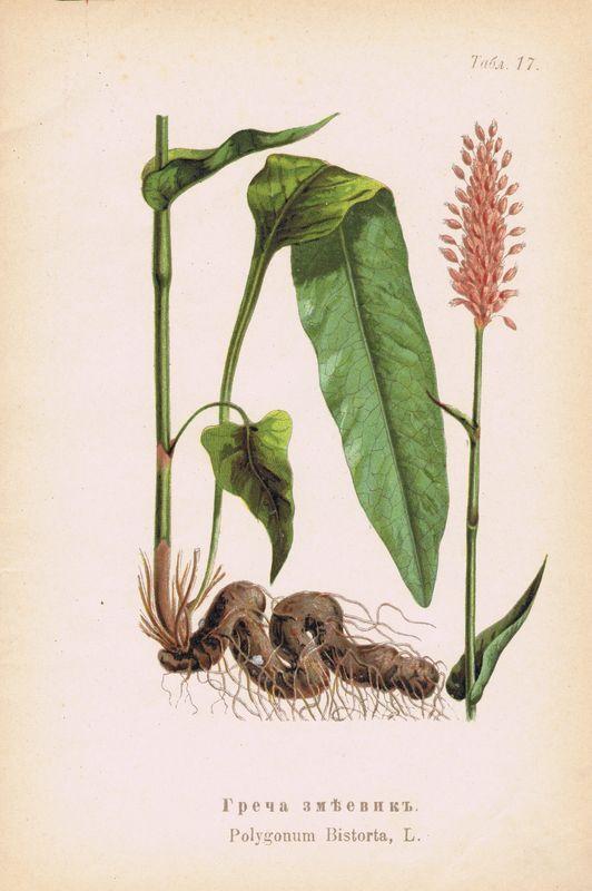 Ботаническая картинка горец змеиный