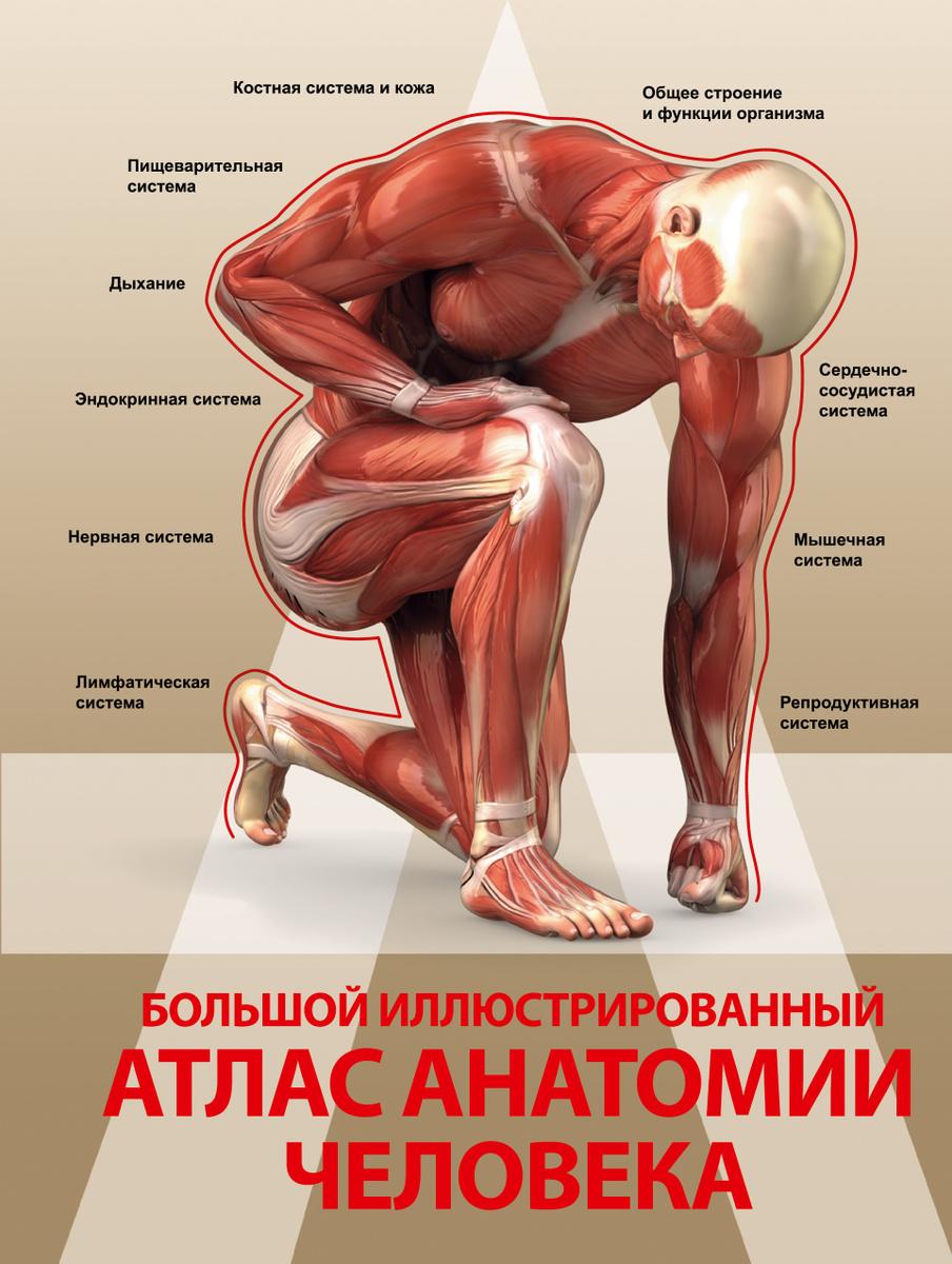Большой иллюстрированный атлас анатомии человека | Нет автора  #1