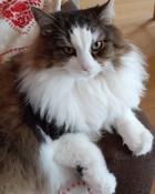 """Консервы Royal Canin """"British Shorthair Adult"""", для кошек британской породы в возрасте старше 12 месяцев, мелкие кусочки в соусе, 85 г #3, Елизавета Б."""