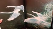 Чудесное путешествие Нильса с дикими гусями #24, Дэниза К.