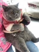 "Корм сухой Royal Canin ""British Shorthair Adult"", для британских короткошерстных кошек старше 12 месяцев, 2 кг #1, Lena V."