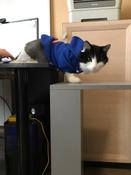 Толстовка с капюшоном для собак и кошек, Цвет: Синий, Размер: M #7, Татьяна М.